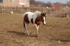 Walking. Built for versatility, the American Paint Horse is generally short-coupled, strong-boned and well balanced. Yet Paints display a remarkable degree of stock images