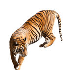 Walking adult tiger Stock Photography