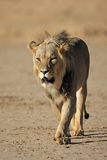 Walking African lion Royalty Free Stock Photos
