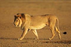 Walking African lion. Big male African lion walking (Panthera leo), Kalahari desert, South Africa Stock Images