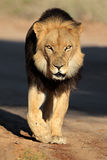 Walking African lion Stock Photos
