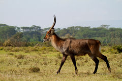 Walking African waterbuck Royalty Free Stock Photo