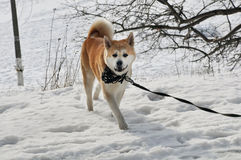 Walking akita the dog Stock Photography