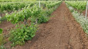 Walking Along Vineyard Lanes at Spring. Ronin steady cam view of a vineyard at sunset. Moving along vineyard lines at sunset. Very handy shot for the wine stock footage