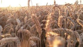 Walking amough huge wheat field. stock video