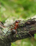 Walking ant Royalty Free Stock Images