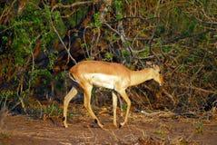 Walking antelope Stock Photo