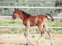 Walking arabian little foal in paddock. Israel Stock Images
