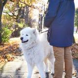 Walking Arctic Spitz Samoyed dog outdoors Royalty Free Stock Photo
