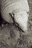 Walking Armadillo Stock Image