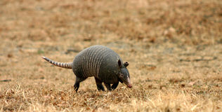 Walking Armadillo. Texas armadillo walking through dry winter grass.  Part of the armadillo's ear is missing, probably bitten off by a predator Royalty Free Stock Photography