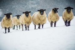 A herd of sheep in the snow. Walking around the chiltern hills i found this amazing herd of sheep that stood for the perfect picture stock images