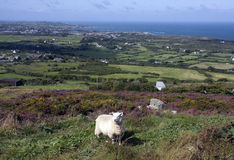 Walking around Llaneilian. Looking back to Amlwch with the Irish sea in the background and sheep from Anglesey Stock Photos