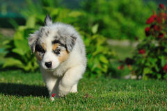 Walking Australian Shepherd puppy Royalty Free Stock Images
