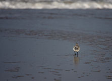 Walking away. A photo of a flying bird royalty free stock image