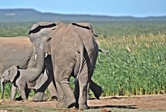 Walking Away, African Elephant Group Royalty Free Stock Photography