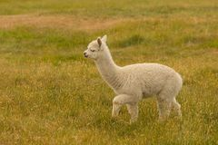 Walking baby cute alpaca over green glass stock photography