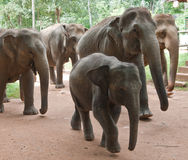 Walking baby elephant in a group. Baby-elephant and mother elephant walking  close to each other in a big group of elephants Royalty Free Stock Images