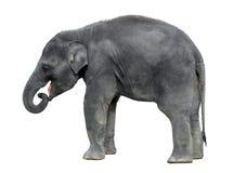Walking baby elephant isolated on white background. Standing elephant full length close up. Female Asian grey elephant. royalty free stock photo