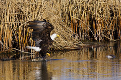 Walking Bald Eagle. Bald Eagle walking from fish to fish Stock Images