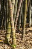 Bamboo forest in Italy. Walking in the bamboo forest Royalty Free Stock Photography