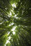 Sounds in a Bamboo Forest royalty free stock photography