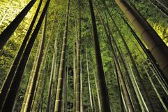 Green Bamboo In The Dark. Walking into the Bamboo Forest at night in Kyoto, Japan and snap this photo with the flash light on and finally I get a true green royalty free stock photos