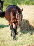 Walking  Bay sportive horse  in field with haystack Royalty Free Stock Images