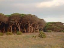 The pine trees of Tarifa, Costa de la Luz royalty free stock photography