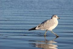 Walking The Beach. York, Maine Beach Stock Image