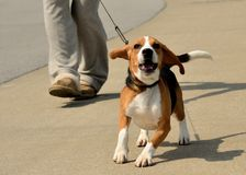 Walking A Beagle Stock Image