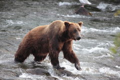 Walking bear Royalty Free Stock Images
