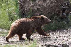 Walking bear. Brown bear walking from left to right royalty free stock photos
