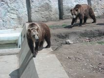 Walking bears 2 royalty free stock photo
