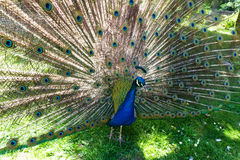 Walking beautiful peacock  tail bird beauty Royalty Free Stock Images