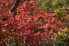 Fall Foliage on Red Maple Trees showing off their Autumn Colors stock photography