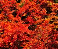 Fall Foliage on Red Maple Trees showing off their Autumn Colors stock images
