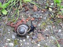 Walking beautiful snail, Lithuania Royalty Free Stock Image