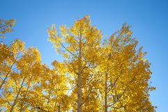 Fall Foliage on Yellow Aspen Trees showing off their Autumn Colors. Walking through the beautiful yellow leaves on aspen trees in Utah in the fall showing off royalty free stock photo