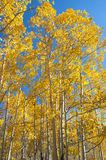 Fall Foliage on Yellow Aspen Trees showing off their Autumn Colors. Walking through the beautiful yellow leaves on aspen trees in Utah in the fall showing off stock image