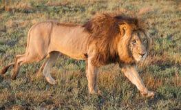Walking big Lion. The lion (Panthera leo) Stock Images