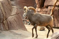 Walking bighorn sheep (ram) Royalty Free Stock Photos