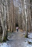 Walking in a birch forest in winter royalty free stock photo