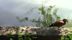 Walking bird. On the water brink stock video