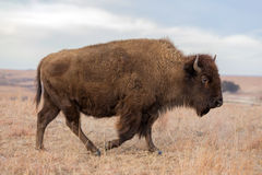 Walking bison, Kansas Stock Photography