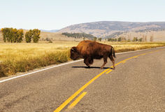 Walking bison.Yellowstone National park.WY.USA. Buffalo walking on the background scenery of Yellowstone Stock Photos