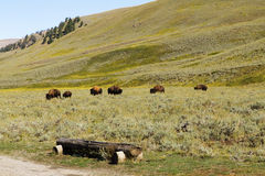 Walking bison.Yellowstone National park.WY.USA. Buffalo walking on the background scenery of Yellowstone Stock Photography