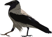 Walking Black Crow. Very important crows, who go somewhere in their own way Royalty Free Stock Photo