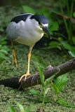 Walking black crowned night heron. (Nycticorax nycticorax), Corkscrew Swamp Sanctuary royalty free stock image
