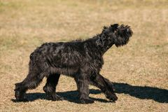 Walking Black Giant Schnauzer Or Riesenschnauzer Dog Outdoor. Step Royalty Free Stock Photography